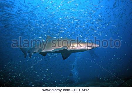 Sandtiger or Sand tiger shark (Carcharias taurus synonym Eugomphodus taurus) at a shooling fish, North Carolina, USA - Stock Photo
