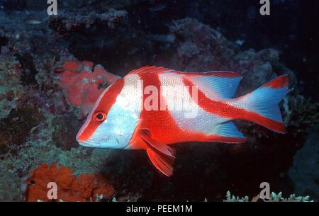 Red Snapper, Emperor Snapper or Emperor red snapper (Lutjanus sebae), Pulau Lankyan, Sabah, Borneo, Malaysia - Stock Photo