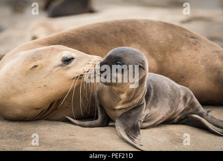 Sea lion baby and mom giving a kiss - Stock Photo
