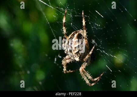 Araneus diadematus,  in a web on a green background - macro - Stock Photo