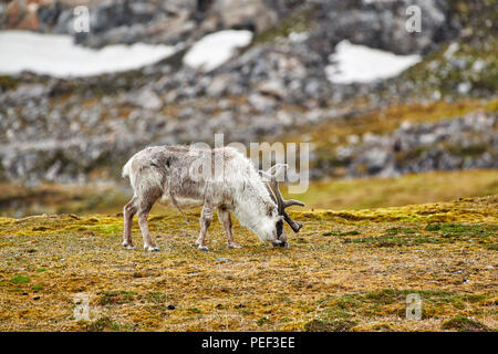 Svalbard reindeer (Rangifer tarandus platyrhynchus), Svalbard or Spitsbergen, Europe - Stock Photo