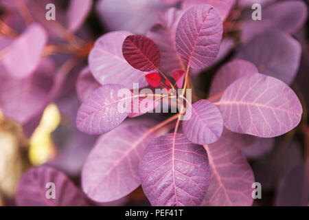 Violet leaves of a bush close-up plant - Stock Photo