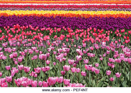 Multi-colored field of bright tulips blooming in spring at the Skagit Valley Tulip Festival in Washington State, United States.