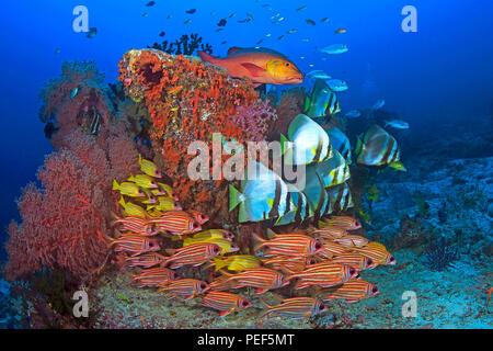 Longfin Batfishes (Platax teira), redcoats (Sargocentron rubrum), Bluestripe snappers (Lutjanus kasmira) and a two-spot red - Stock Photo