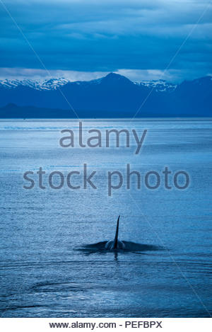 A killer whale or Orca in Icy Straight at dusk. - Stock Photo