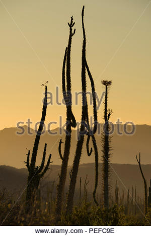 Boojum trees at the northern end of the Sea of Cortez, near Bahia de Los Angeles. - Stock Photo