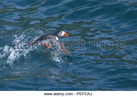 An Atlantic puffin, takes off. - Stock Photo
