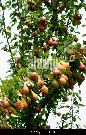 Pears ready for harvest on a tree branch Communis or Bella di giugno or Mirandino Red or June Beauty - Stock Photo