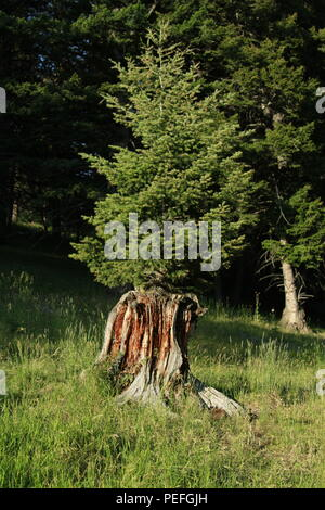 Young fir tree growing out of the stump of an old tree harvested for lumber, Big Belt Mountains, Montana, USA - Stock Photo