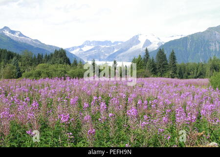 Mendenhall Glacier viewpoint with fireweed in bloom, Juneau, Alaska - Stock Photo