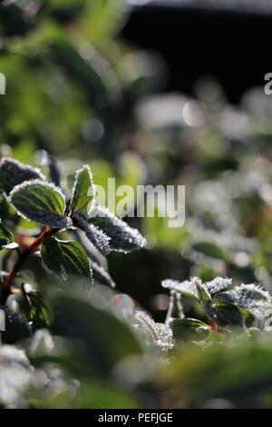 Frozen Mint - Stock Photo
