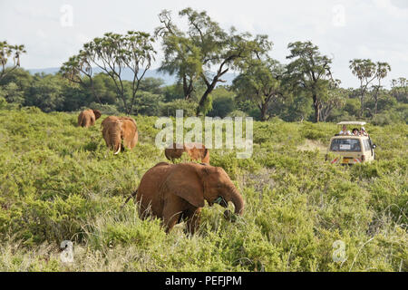 Safari vehicle surrounded by elephants feeding against a backdrop of doum palms and acacia trees, Samburu Game Reserve, Kenya - Stock Photo