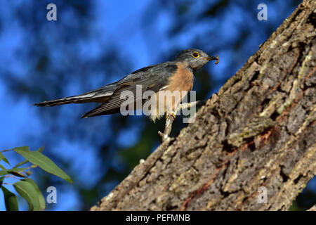 An Australian, Queensland Fan-tailed Cuckoo ( Cacomantis flabelliformis ) about to eat a Caterpillar - Stock Photo