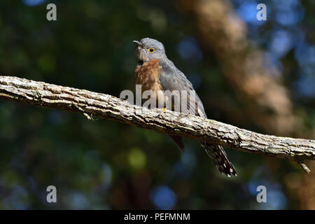 An Australian, Queensland Fan-tailed Cuckoo ( Cacomantis flabelliformis ) resting on a tree branch - Stock Photo