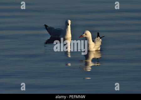 An Australian, Queensland Immature and Adult Silver Gulls ( Larus novaehollandiae ) floating in the ocean - Stock Photo
