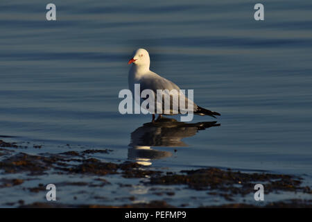 An Australian, Queensland Adult Silver Gull ( Larus novaehollandiae ) standing in low tide - Stock Photo