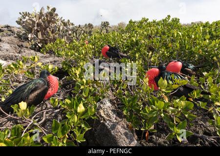 Adult male great frigatebirds, Fregata minor, courtship display. Genovesa Island, Galápagos, Ecuador. - Stock Photo