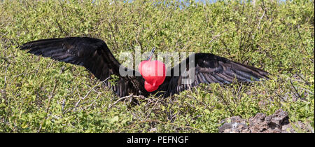 Adult male great frigatebird, Fregata minor, courtship display. Genovesa Island, Galápagos, Ecuador. - Stock Photo
