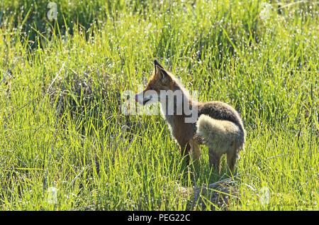 Red fox (Vulpes vulpes) - Stock Photo