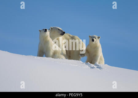Polar Bear mom and two yearlings (Baffin Island) - Stock Photo
