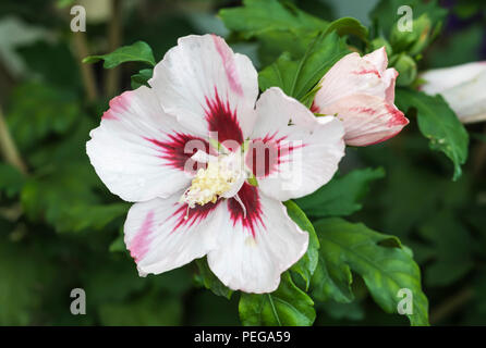 Hibiscus syriacus 'Hamabo' flower (Rose of Sharon, Rose Mallow, Tree Hollyhock) in Summer in West Sussex, England, UK. - Stock Photo
