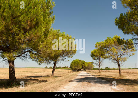 Pine trees growing near Meschers-sur-Gironde, leading the way to an old farm house - Stock Photo