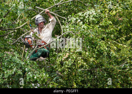 A tree surgeon arborist arboriculturist is pictured as he cuts down a tree in Chippenham, Wilts. - Stock Photo