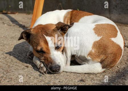 Huddled brown and white dog sleeping on ground outside - Stock Photo