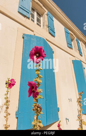 Hollyhock growing in front of the old customs house at Tamont-sur-Gironde, France - Stock Photo