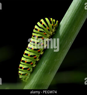 Raupe, Schwalbenschwanz, Papilio, machaon, Schmetterling - Stock Photo