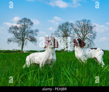 Two English Springer Spaniels (approx 16 week old) sat in a grass field during a walk - Stock Photo