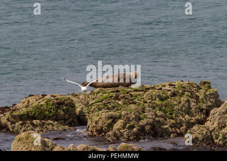 Grey Seal. Halichoerus grypus. Single adult basking on rocks,  watching gull take off.l Dumfries and Galloway. Scotland. - Stock Photo