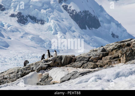 Gentoo penguin rookery in Antarctica - Stock Photo