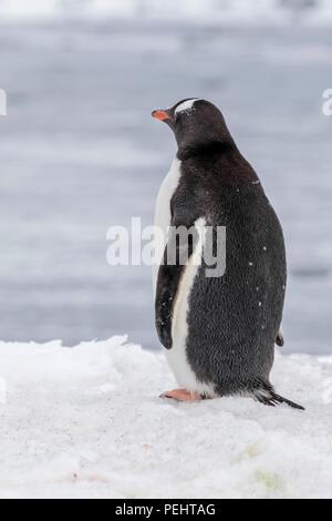 Gentoo penguin rookery on a South Shetland Island - Stock Photo