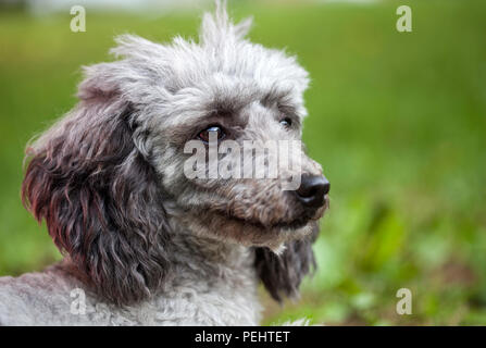 Poodle outdoor portrait - Stock Photo