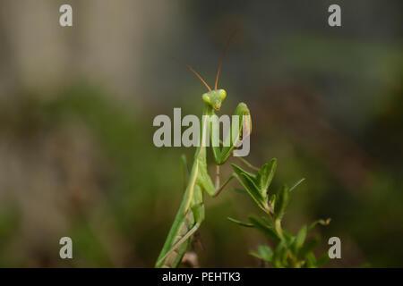 mantis Prayer, Milan - Stock Photo