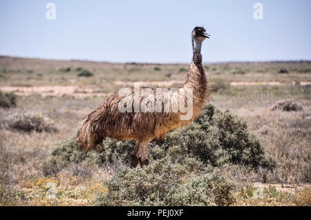 Emu (Dromaius novaehollandiae) grazing in the outback, Oodnadatta Track near Marree, South Australia. - Stock Photo