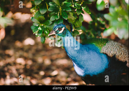 Peacock hidden in the bushes - Stock Photo