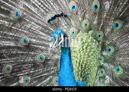 A regal Peacock - Stock Photo