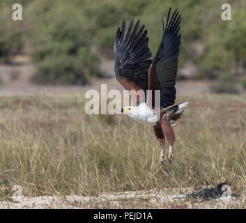 Fish Eagle taking flight near the Chobe River in Chobe National Park, Botswana - Stock Photo
