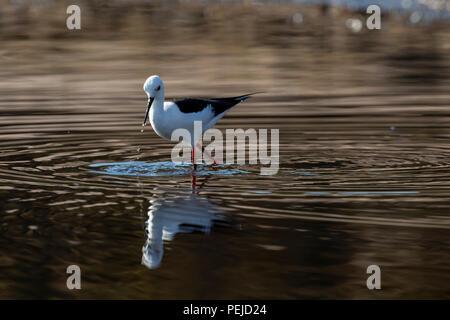 Black-winged stilt reflected in Chobe River, Botswana - Stock Photo