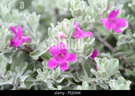 Texas Sage, Texas silver leaf, grey leaves with purple flowers, perfect natural color splash done by the nature, garden flowers in Singapore - Stock Photo