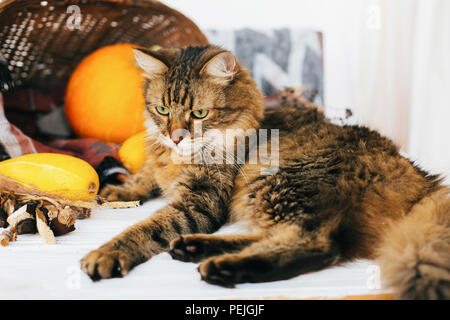 Adorable tabby cat sitting at pumpkin and zucchini in cozy wicker basket in light on wooden background. harvest and hello autumn concept with space fo - Stock Photo