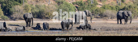 Small herd of African elephants including adult females and babies enjoying the water, Chobe National Park, Botswana - Stock Photo