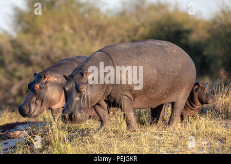 Hippos near Chobe River, Chobe National Park, Botswana - Stock Photo