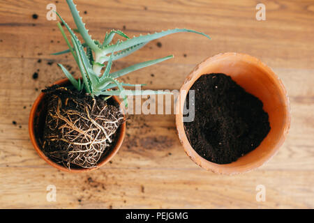repotting plant. aloe vera with roots in ground repot to bigger clay pot indoors. care of plants. succulent on wooden background. gardening concept - Stock Photo