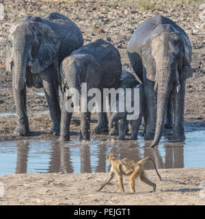 Baboon saunters past a herd of African elephants at a watering hole, Chobe National Park, Botswana - Stock Photo