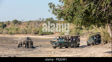 African elephants observed by a herd of safari goers, Chobe National Park, Botswana - Stock Photo