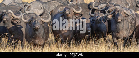 Cape buffaloes in defensive formation; Okavango Delta, Botswana - Stock Photo