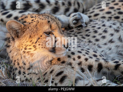 Cheetah resting in shade with head lit by isolated rays of late afternoon sun, Okavango Delta, Botswana - Stock Photo